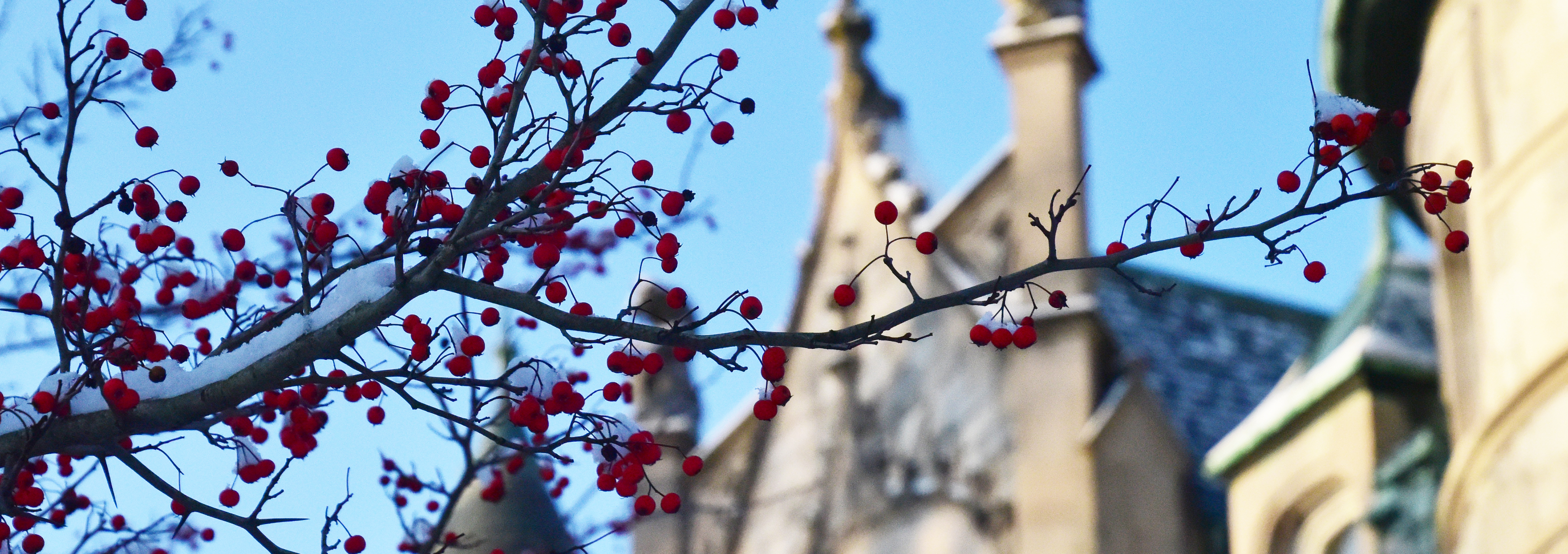 red berries in focus with the top of main building out of focus.